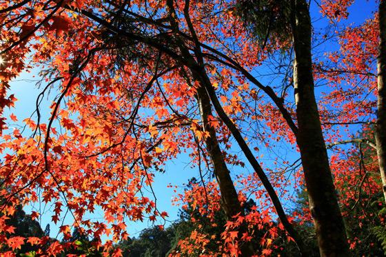 壁纸 枫叶 风景 红枫 树 560_373