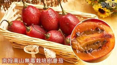 南投高山無毒栽培樹番茄