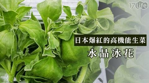 日本爆紅生菜-水晶冰花