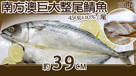 日丸水產-南方澳巨大薄鹽整尾鯖魚(450g±10%/尾)