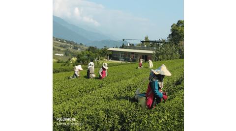 台東卑南-佳芳有機茶園(有機茶之旅)
