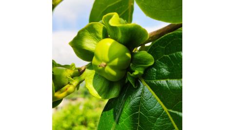 新竹五峰-馬賴農場(採果體驗-百香果、甜柿)