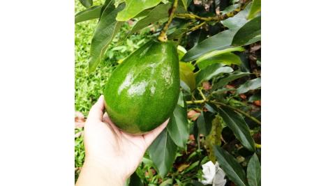 台南大內-左岸幸福莊園(體驗採酪梨)