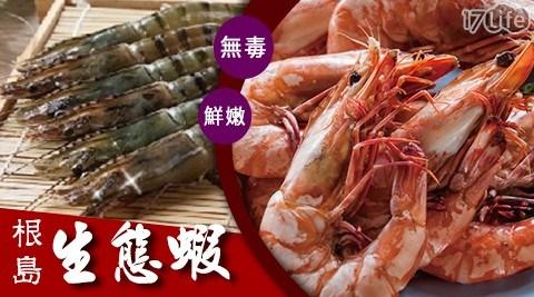 大成/無毒根島生態蝦/無毒/海鮮/蝦子/蝦