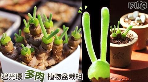 療癒/小兔碧光環/種子/多肉植物/迷你盆栽/盆栽/植物/養殖